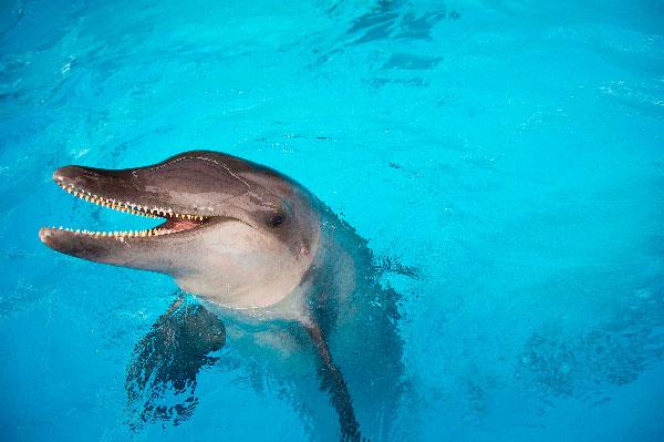 9 Tipos increíbles de delfines - Delfín de dientes rugosos