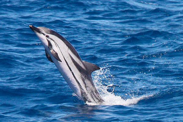 9 Tipos increíbles de delfines Delfín Rayado