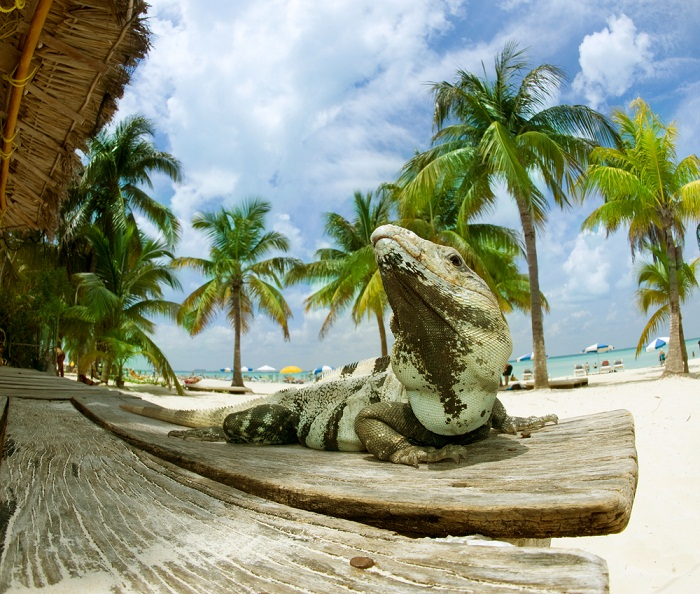 Iguana en Cancún