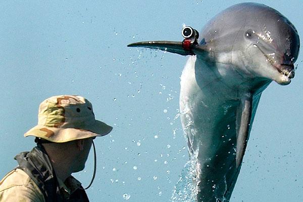 Los delfines nariz de botella entrenados por la marina pueden salvar la vaquita