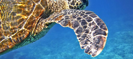 Sea turtle in Akumal, Mexican Caribbean.